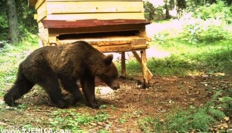 Medved u rezervatu Uvac