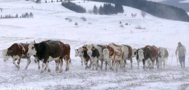 Stoka na pesterskoj visoravni - www.Sjenica.com